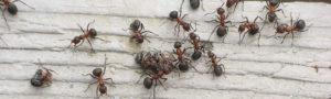 banner disinfestazione formiche