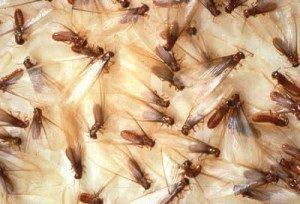 disinfestazione focolao di termiti alati a Catanzaro
