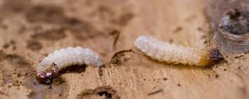 disinfestazione termiti
