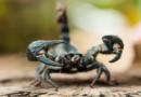 Disinfestazione Scorpioni